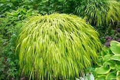 hakone grass--a low shade lover I'd plant by rhododenron after I prune it. A waterfall of color until frost.