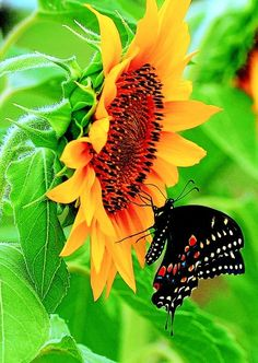 Swallowtail butterfly-and beautiful sunflower - Butterfly Kisses, Butterfly Flowers, Beautiful Butterflies, Beautiful Flowers, Monarch Butterfly, Butterfly Chrysalis, Butterfly Mosaic, Butterfly Pictures, Butterfly Dragon