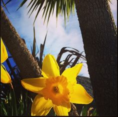 Spring has sprung in our gardens! Sunny Cornish daffodils, palm trees and blue sky in Falmouth, Cornwall.