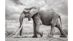 """In Kenya, wildlife photographer Will Burrard-Lucas took these striking black-and photos of a rare """"big tusker"""" elephant. See why the """"Elephant Queen"""" of Africa is so majestic. Wild Life, Elephants Photos, Elephant Pictures, Elephant Images, British Wildlife, Wildlife Conservation, African Elephant, Fauna, Wildlife Photography"""