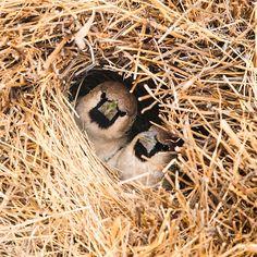 O Tecelão-Social, ou Sociable Weaver, é um pássaro nativo da África do Sul, Namíbia e Botswana. Eles são capazes de tecer enormes ninhos feitos de pedaços de pau e capim, com capacidade de hospedar centenas de aves. Esses ninhos permitem que os pássaros fiquem protegidos das temperaturas frias da noite.