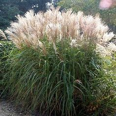 """miscanthus sinensis herman mussel"""