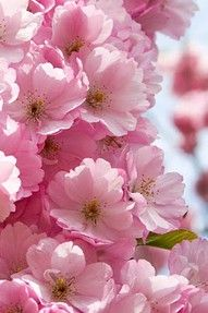 weeping cherry tree flowers