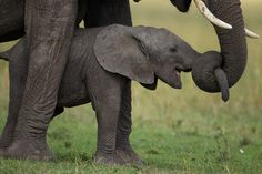 """Mother and baby, Serengeti elephants by Michael Nichols, 2011. """"We saw this mom playing with her infant by pulling his trunk with hers."""""""