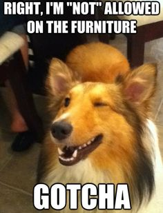 Exactly what my sheltie does every time I leave the house...