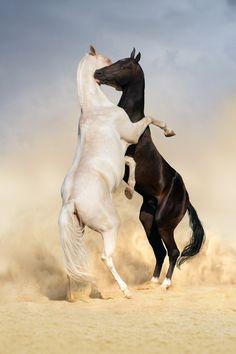 Horse Photography - Two Achal-teke horses fight it out on the desert. - Horses playing in desert sand. - by Svetlana Golubenko on 500px