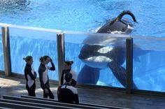 Tilikum: the most heartbreaking story of a beautiful massive Orca, ripped from his home and family, stuck at Seaworld. Beautiful creature