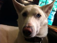 #EASTLAYTON #UT #LOSTDOG 6-25-13 MALE WHITE 4 YEARS OLD #SIBERIANHUSKY LEFT EYE BLUE RIGHT EYE BROWN LIGHT BROWN NOSE 801-721-5052 801-546-0627 https://www.facebook.com/photo.php?fbid=220256654808318&set=o.186932574752264&type=1