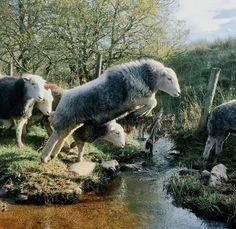 Herdwick Sheep, crossing the beck…  by James Rebanks