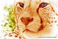 Portrait of Cheetah in the wild: Last year April during a hike I almost bumped into a couple cheetahs sunbathing in the Eastern Cape. It was hot and they were fairly inactive. I could approach them up to about 2 meters distance an...