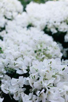 white bougainvillea                                                                                                                                                                                 More