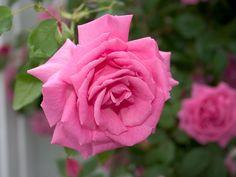 Rose | rose rose macrographie d une rose rose resolution 1600x1200 poids 175 ...