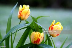 Stock Photo : Close-Up Of Yellow Tulips Blooming Outdoors Yellow Tulips, Any Images, Still Image, Royalty Free Images, Close Up, Bloom, Outdoors, Stock Photos, Plants