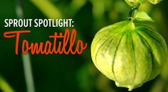Love salsa verde? Grow your own tomatillos! | Sprout spotlight: Tomatillos - 5 fun & helpful facts