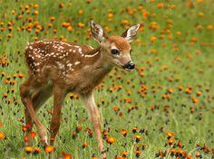 Happy Animals, Cute Baby Animals, Beautiful Creatures, Animals Beautiful, Animal Print Shop, Hunting Pictures, Deer Family, Baby Animals Pictures, Deer Art