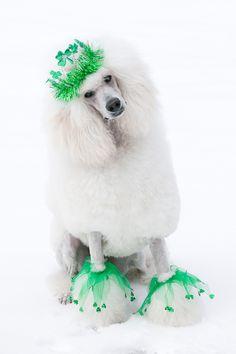 St. Patrick's Day poodle