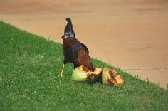 Coconut Treat by Dennis Begnoche - Rooster enjoying a spit coconut treat. Click on the image to enlarge.