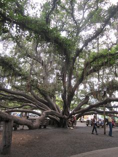 This is the most amazing tree you will ever see.This is the worlds largest Banyan Tree. this tree covers the whole courtyard in the center Laihaina, Maui Hawaii I love Maui Travel, Hawaii Vacation, All Nature, Nature Tree, Aloha Hawaii, Hawaii 2017, Unique Trees, Old Trees, Tree Forest