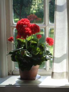 Red geranium pot on a window.  I should do this in my kitchen so I don't want to kill myself when I have to do the dishes.