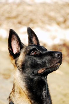 Is there anything more magnificent than a big black dog standing majestically in the yard with the sunlight glinting off their sleek coat? That's why we've created this list of 10 big black dog breeds we think you'll love. Berger Malinois, Belgian Malinois Dog, Malinois Puppies, Belgian Shepherd, German Shepherd Dogs, Big Black Dog Breeds, Black Dogs, I Love Dogs, Cute Dogs
