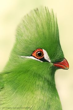 Guinea Turaco (Tauraco persa), also known as the Green Turaco, by Sergei Gladyshev