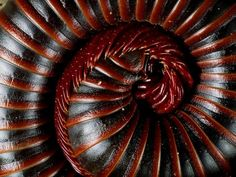 Exhibiting its main defense mechanism, a millipede curls into a tight spiral. In this fashion it protects its legs—on average between 100 and 300, not the thousand its name suggests—inside its body.