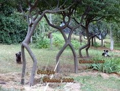 shaping living trees | Weird Tree Shaping