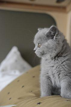 Mon chaton Bleu British Shorthair de 12 semaines. Il est né au doux élevage des British du Clos d'Eugénie, près de Paris. Photo Vanessa Pouzet. Blue British kitten cat shorthair