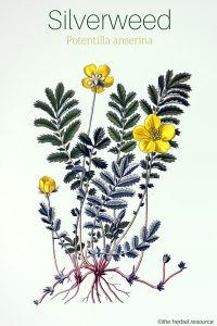 Silverweed Medicinal Herb Uses , Health Benefits and Side Effects