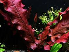 Barclaya longifolia 'red' with bud Freshwater Aquarium Plants, Live Aquarium Plants, Home Aquarium, Pond Plants, Aquatic Plants, Planted Aquarium, Live Plants, Aquarium Ideas, Seahorse Aquarium