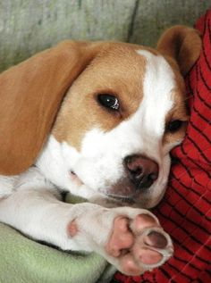 Have a Beagle And Carry On ----- Also, click on the image to check out our…