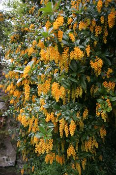 Yellow Lilac Bushes