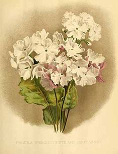 200478 Primula sieboldii E. Morren / The garden. An illustrated weekly journal of horticulture in all its branches [ed. William Robinson], vol. 36: t. 721 (1889)
