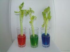 Celery in Food Coloring- Parts of a Plant Lesson