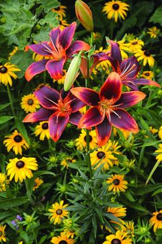Lilium or (Asiatic) Lily 'Forever Susan' ~ dark green leaves and summer flowers of orange & burgundy ~ Attracts Ruby Throated Hummingbirds Exotic Flowers, Beautiful Flowers, Beautiful Images, Orange Flowers, Tropical Flowers, Yellow Roses, Pink Roses, Pink Purple, Lily Bulbs