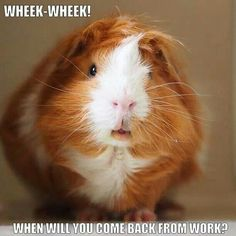 Cute guinea pig. Aw but this makes me sad, because I had to leave my own piggies behind when I moved across the world for a new job. I miss them so much.