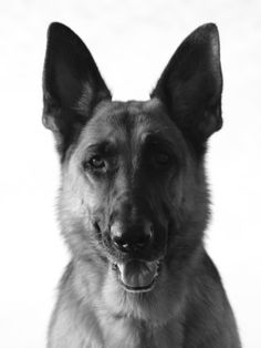 Napa, one of the most beautiful German Shepherds