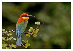 Chestnut-headed Bee-Eater by Madhawa, via Flickr