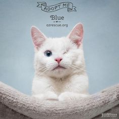 Meet Blue, an adoptable American Shorthair looking for a forever home. If you're looking for a new pet to adopt or want information on how to get involved with adoptable pets, Petfinder.com is a great resource.