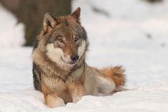 Vlk obecný - Grey Wolf in winter