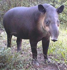 Tapir   The Banana Grove - Legends of Brazilian Monkeys