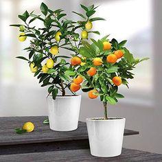 Oranger et citronnier : en pot, c'est possible