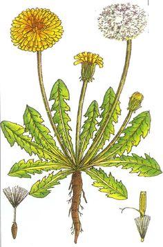 Common dandelion margaret rebecca dickinson natural history dandelion color diagram ccuart Image collections