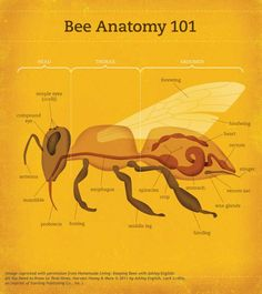 The Anatomy of a Bee!  Call A1 Bee Specialists in Bloomfield Hills, MI today at (248) 467-4849 to schedule an appointment if you've got a stinging insect problem around your house or place of business!