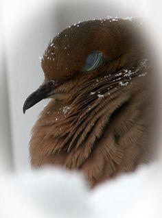 Sweet Dreams Morning Dove