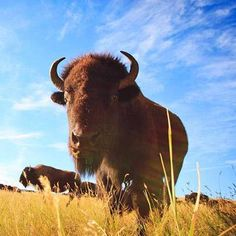 A thunderous bison roundup, trails, scenic drives and small towns all reflect the drama of fall when autumn color arrives in South Dakota's Black Hills.