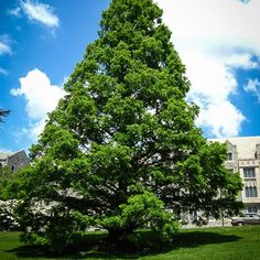 Dawn Redwood For Sale Privacy Trees, Specimen Trees, Fast Growing Trees, Evergreen Trees, Dawn, Clouds, Landscape, Water, Garden