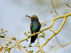 Broad-Billed Hummingbird (Cynanthus Latirostris) in Palo Verde Tree, Green Valley, Arizona Ranch Vacations, Vacation Home Rentals, Green Valley Arizona, Ghost Towns, Stargazing, Find Art, Framed Artwork, National Parks, Hummingbirds