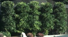 Podocarpus hedge - plant fence on Andy's side of the house Privacy Hedge, Privacy Landscaping, Privacy Fences, Podocarpus Hedge, Outdoor Spaces, Outdoor Ideas, Hedges, Patio, Landscape