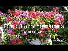 Cómo cultivar hermosos Geranios - 1ª parte - YouTube